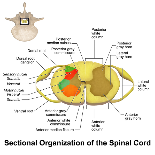 Spinal Cord Mepedia