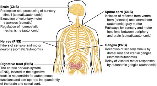 1205 Somatic Autonomic Enteric StructuresN (1).jpg
