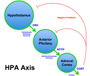 Top circle: hypothalamus, middle circle: anterior pituitary, bottom circle: adrenal cortex