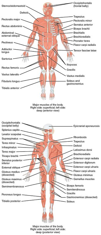 Musculoskeletal System Mepedia
